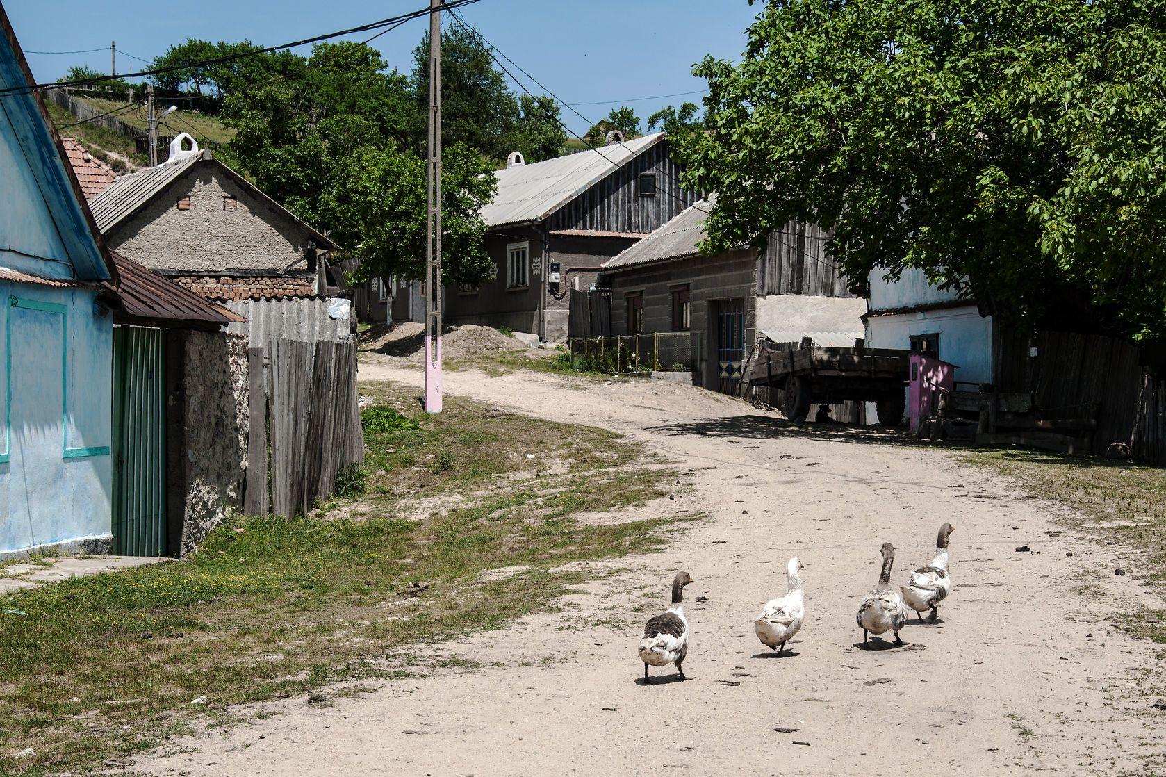 Husy na návsi Rovenska | miropink/123RF.com