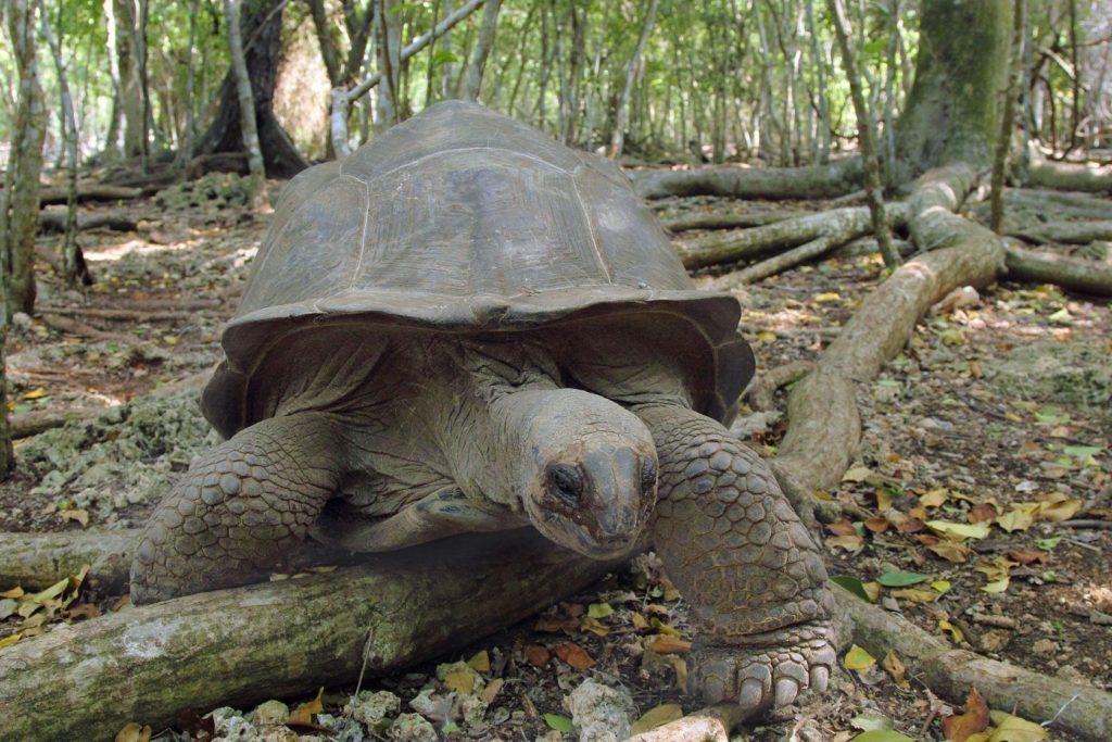 Aldabra obří želva v lese na Zanzibaru | mattiaath/123RF.com