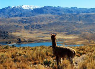 Alpaka a krajina v Peru | nadphotos/123RF.com