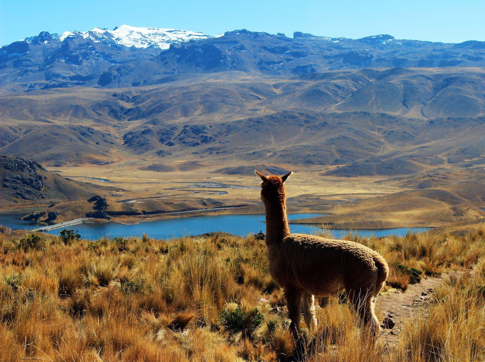 Alpaka a krajina v Peru   nadphotos/123RF.com