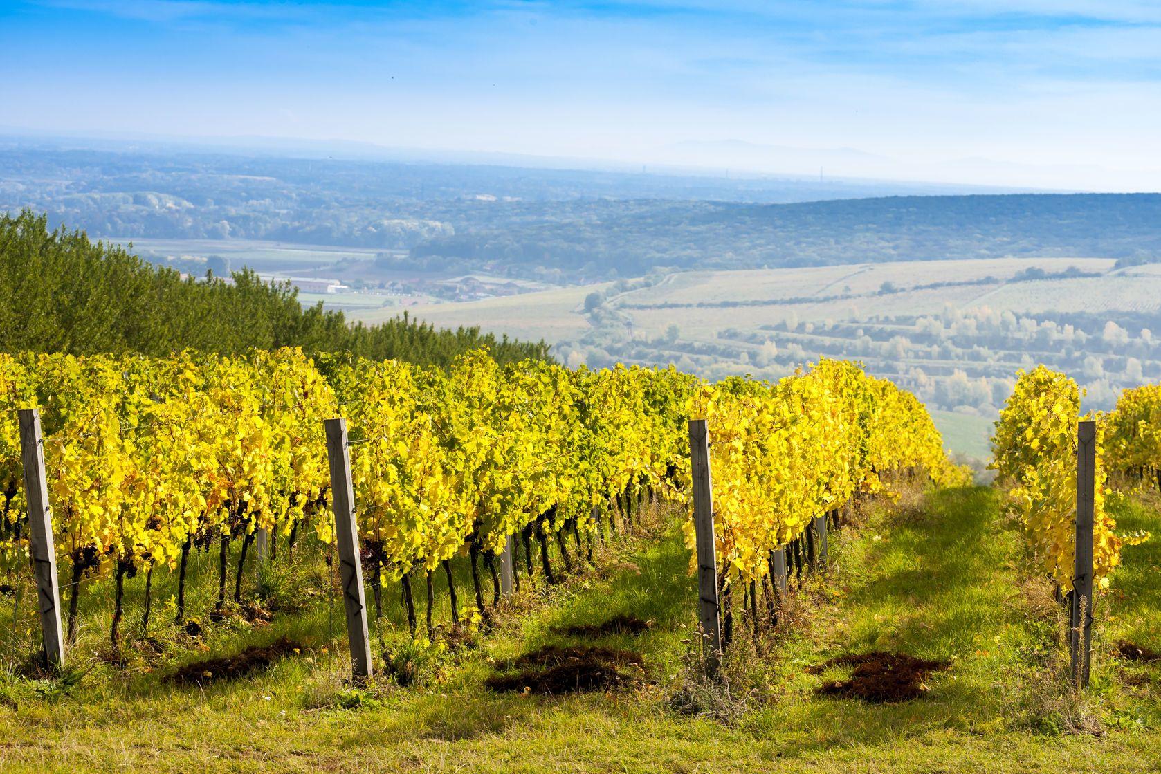 Podzimní vinice v okolí Pálavy | phbcz/123RF.com
