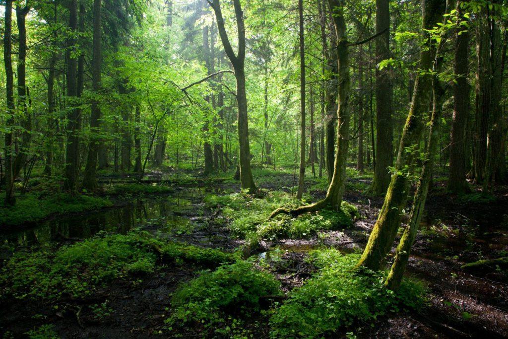 Bělověžský prales v Polsku | aleksander/123RF.com