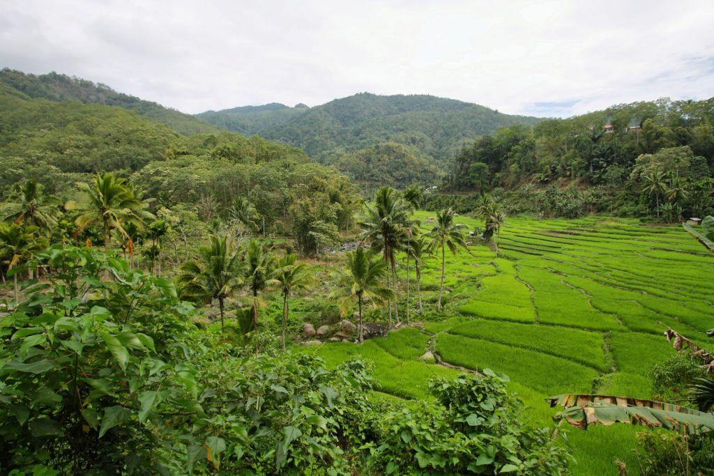 Rýžová pole s palmami na ostrově Flores | estivillml/123RF.com