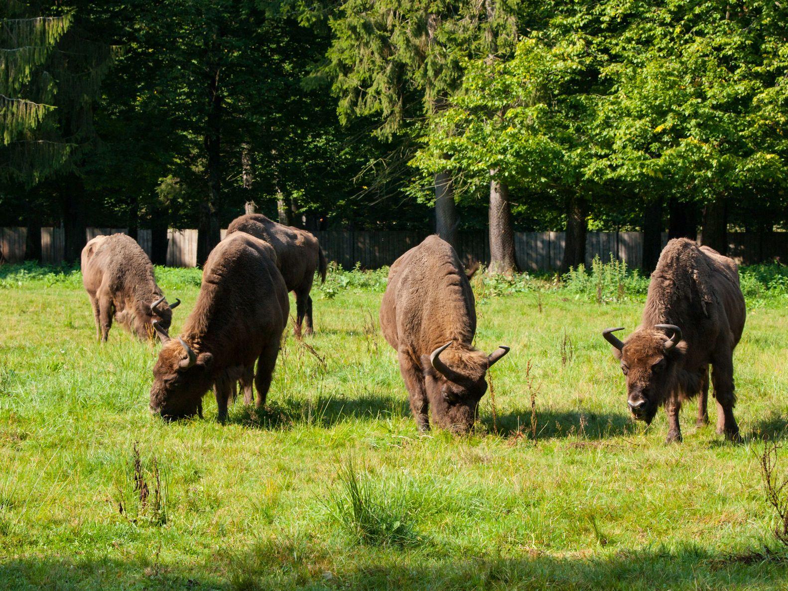 Zubří stádo v Bělověžském pralese | pytyczech/123RF.com