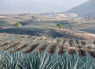 Pole s agáve v Mexiku | albertoloyo/123RF.com