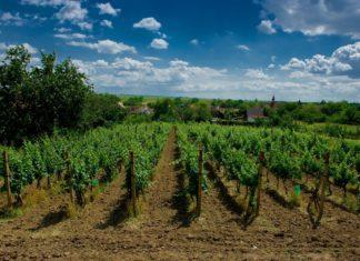 Vinice u obce Šatov | zbynek/123RF.com