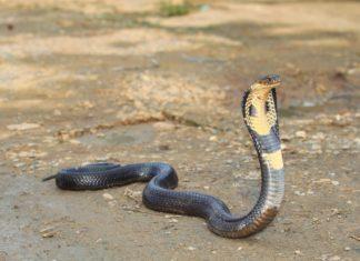 Jedovatá kobra | skynavin/123RF.com