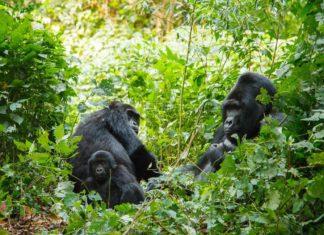 Gorilí rodina v přírodě v Ugandě | ksumano/123RF.com
