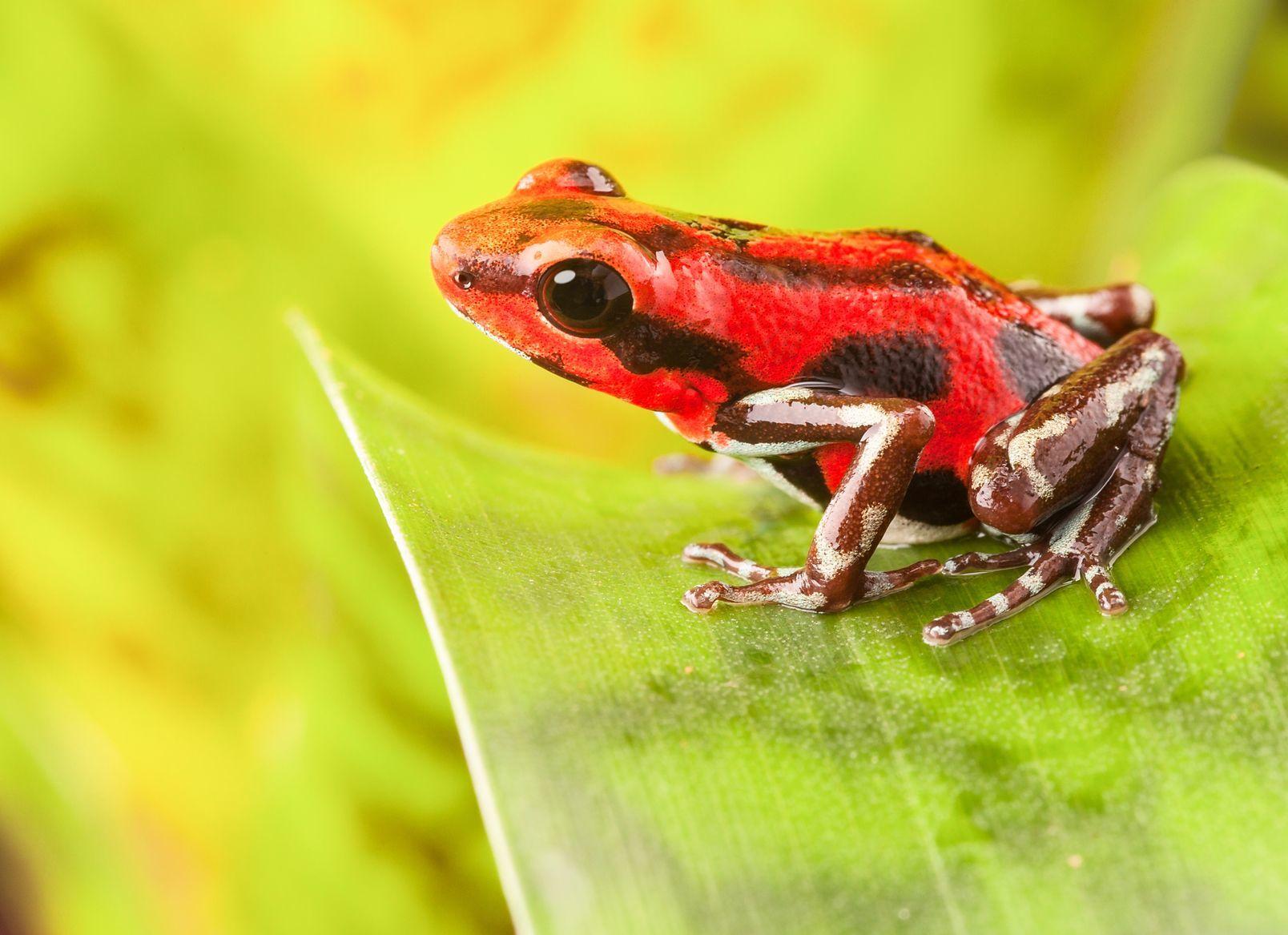 Červená pralesnička v Panamě | dirkercken/123RF.com