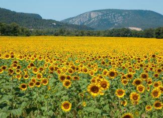 Slunečnicové pole ve Francii | epokrovsky/123RF.com