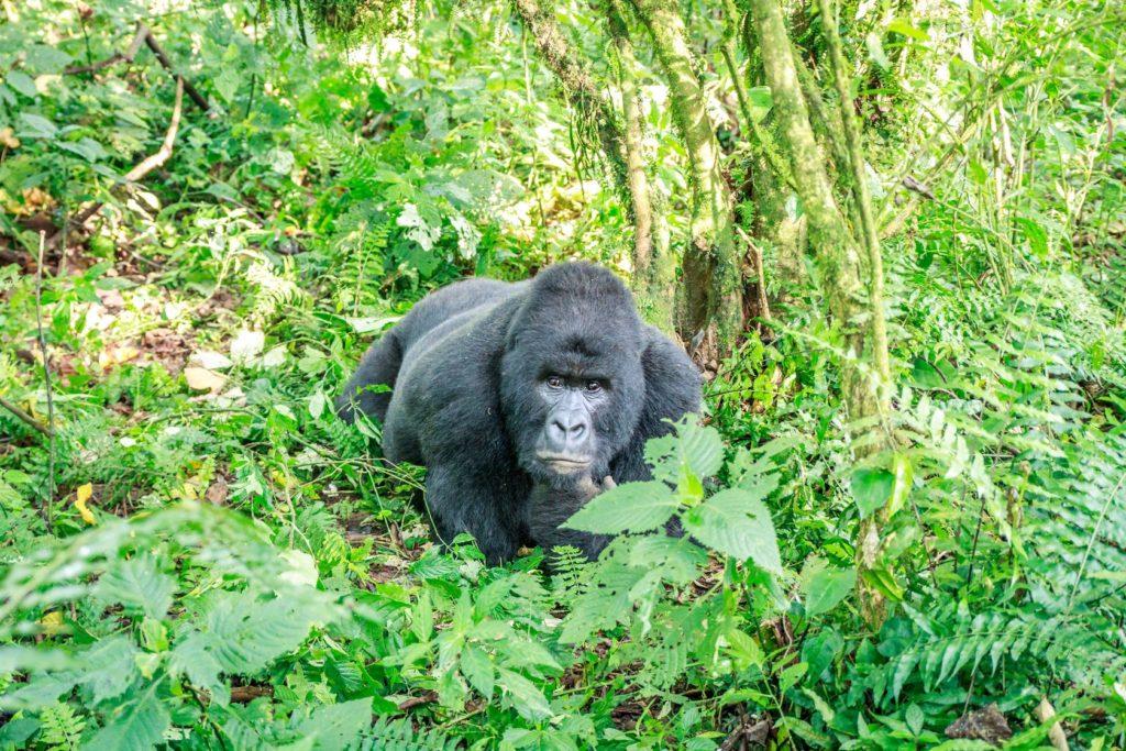 Horská gorila v Národním parku Virunga v Demokratické republice Kongo | simoneemanphotography/123RF.com
