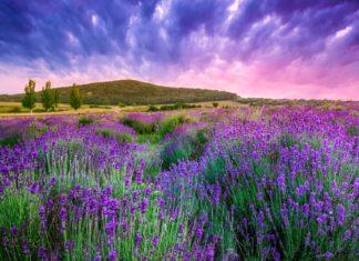Levandulové pole u města Tihany v Maďarsku | fesus/123RF.com