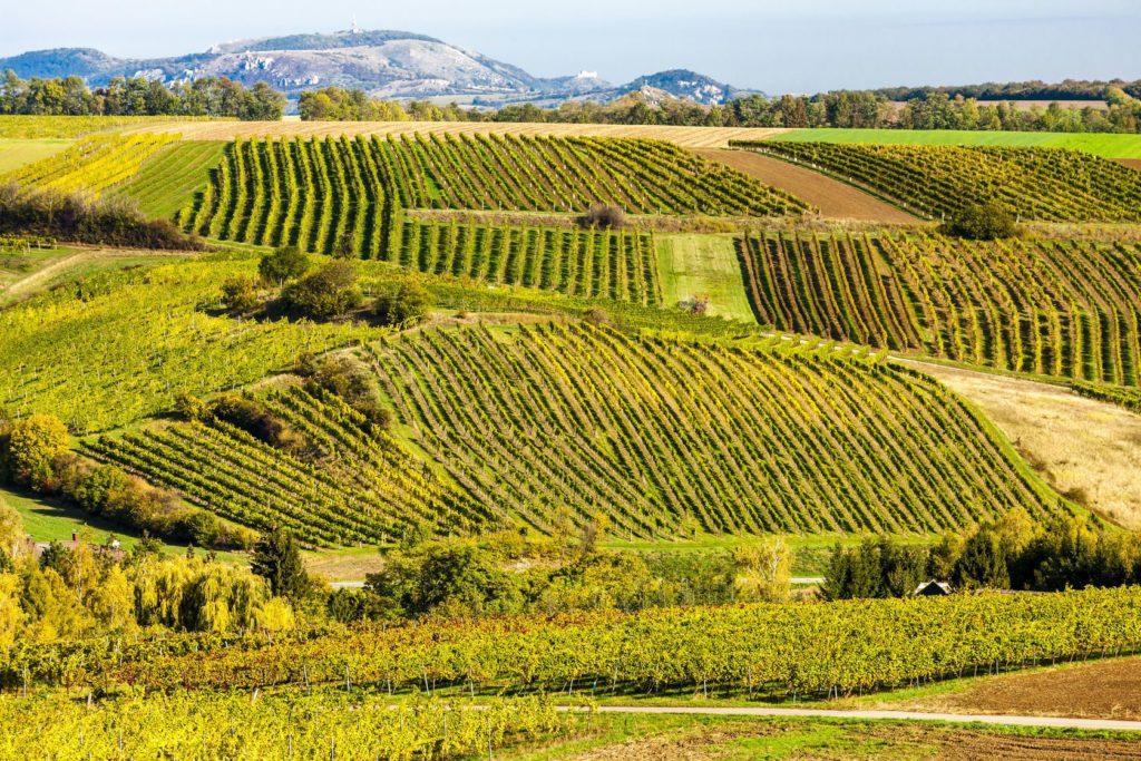 Podzimní vinice v okolí Falkenstein ve vinařské oblasti Weinviertel | phbcz/123RF.com