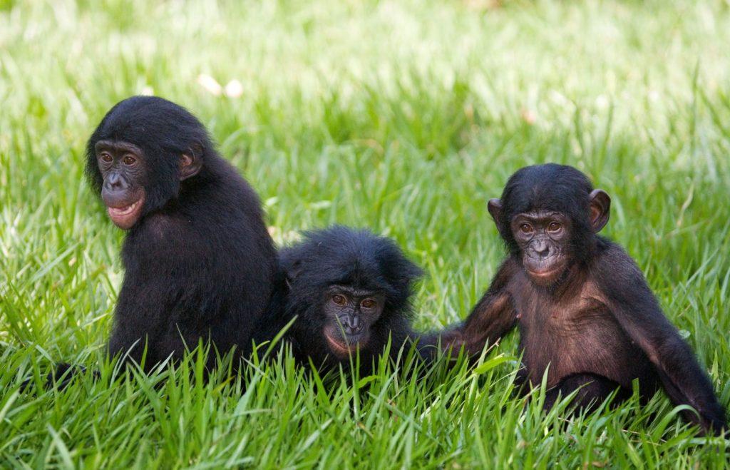 Šimpanzi v Lola ya Bonobo v Demokratické republice Kongo | gudkovandrey/123RF.com