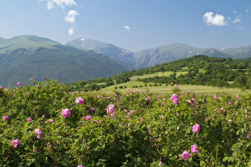Údolí růží v Bulharsku   petarpaunchev/123RF.com
